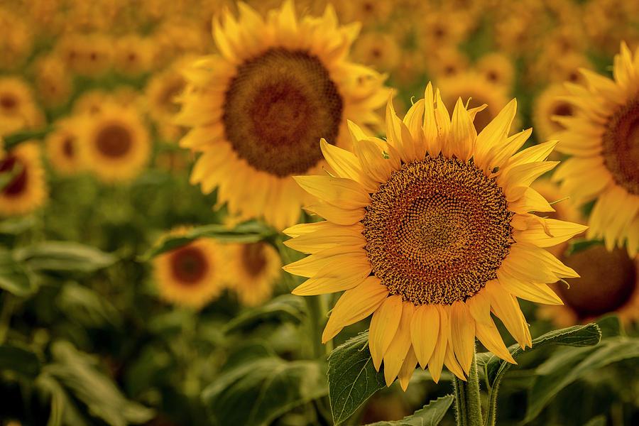 Summer Sunny Sunflower Field by Teri Virbickis