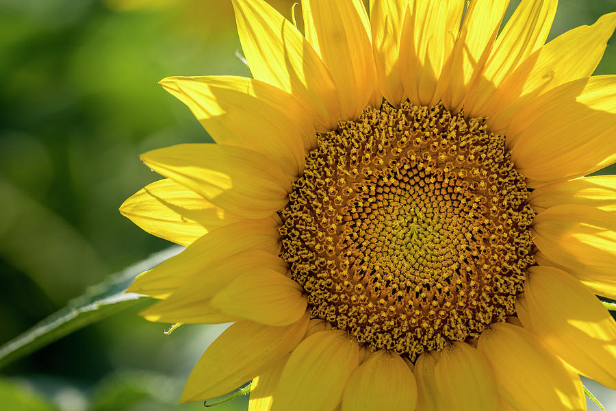 Summer Sunny Sunflower by Teri Virbickis