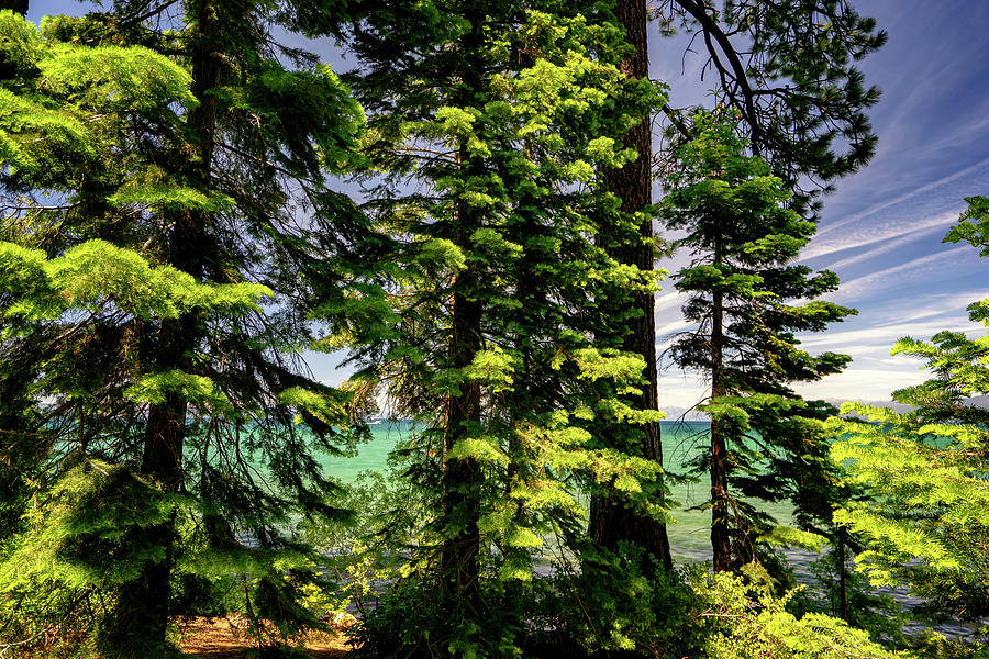 Summer Trees in Lake Tahoe by Christopher Johnson