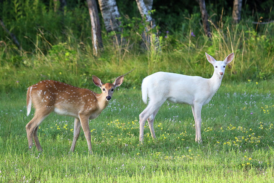 Summertime Fawns by Brook Burling