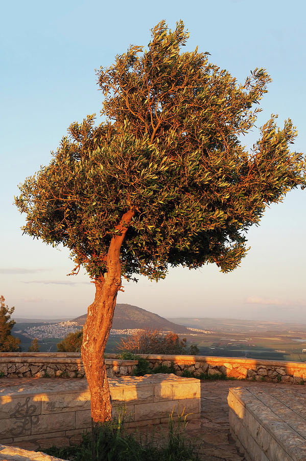 Sun Burnished Olive Tree by Ginger Repke