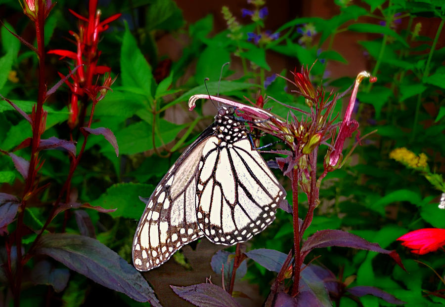 Sun-faded Monarch Butterfly Photograph