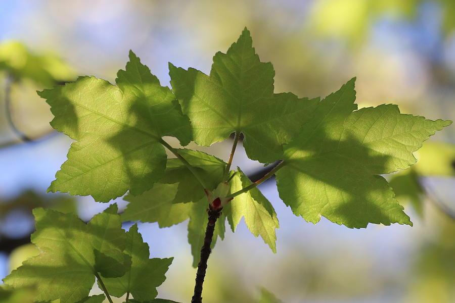 Sun Kissed Spring Maple Leaves by TJ Fox