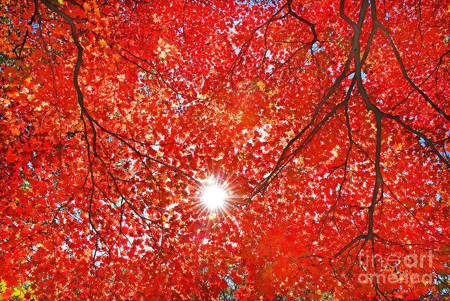 Forest Photograph - Sun Light Through The Red Fall Maple by Maxim Tupikov