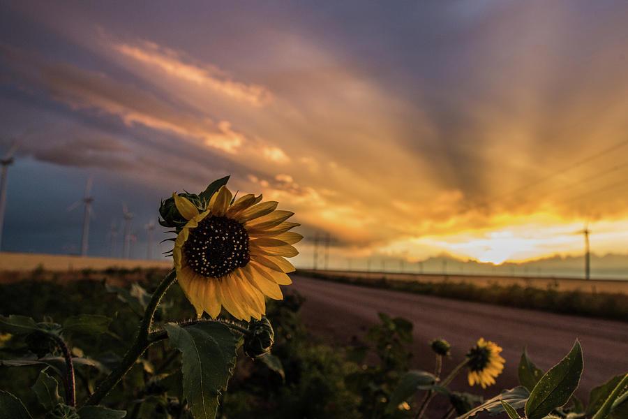 Sun Rays and Sunflowers by Joe Kopp