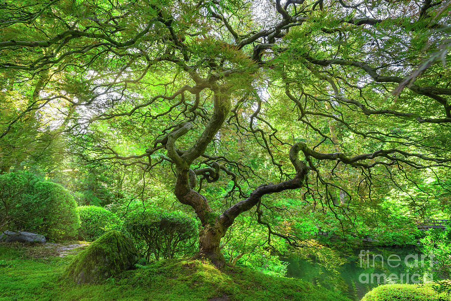 Sun Rays On The Japanese Maple Tree Photograph