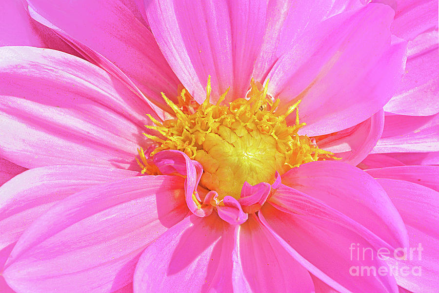 Sun Warmed Pink Dahlia Blossom Photograph