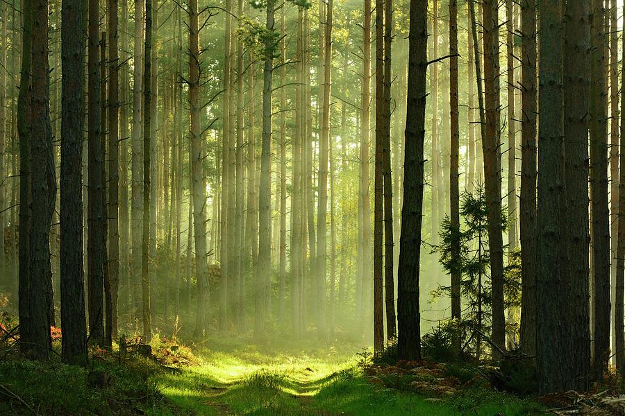 Sunbeams Breaking Through Pine Tree Photograph by Avtg