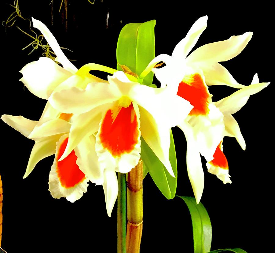 Sunbursts Of Orchid Aloha  by Joalene Young
