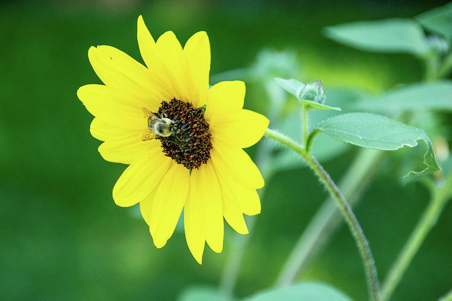 Sunfinity Sunflower Photograph