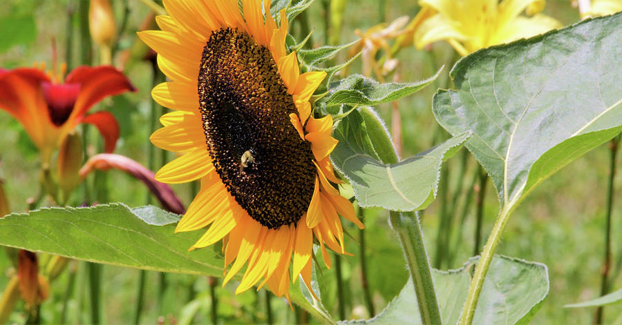 Sunflower And Lilies Photograph