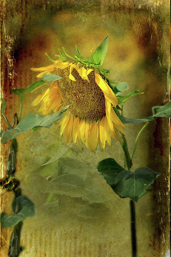 Sunflower 1 by Jolynn Reed