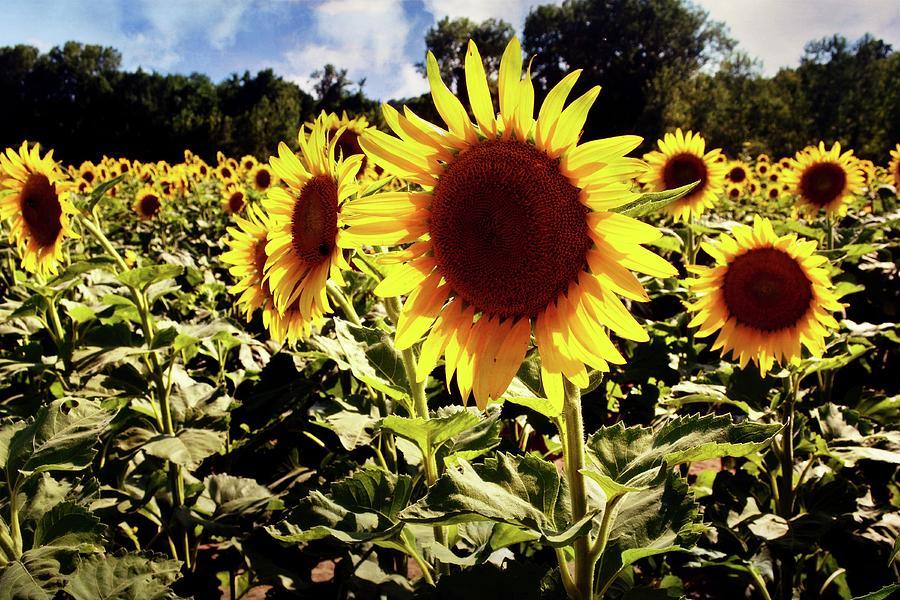 Sunflower 1 by Marty Koch