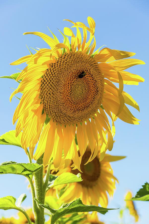 Sunflower - 1 by Paul MAURICE