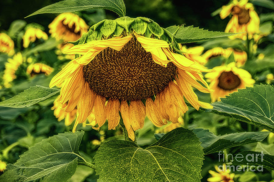 Sunflower 2019 1 by Elijah Knight