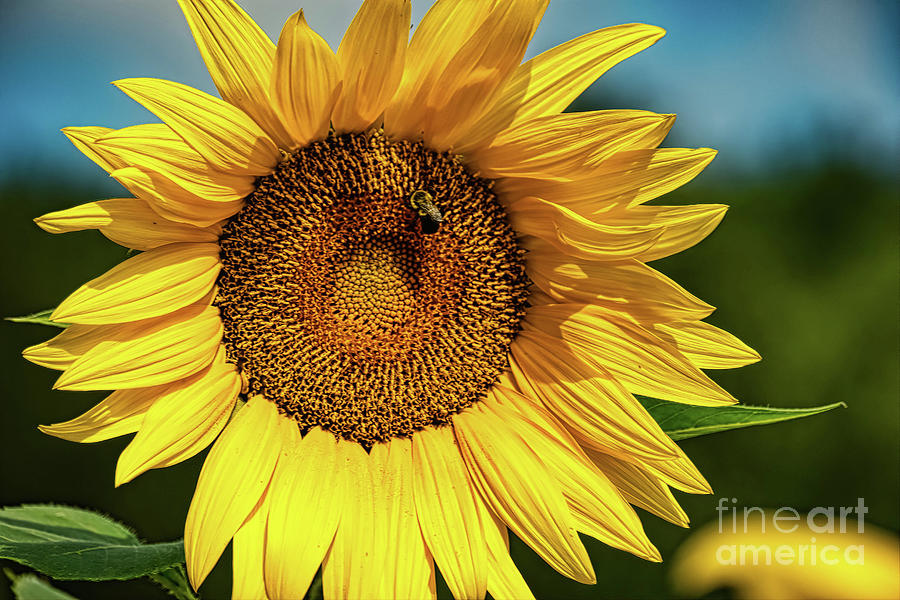 Sunflower 2019 2 by Elijah Knight