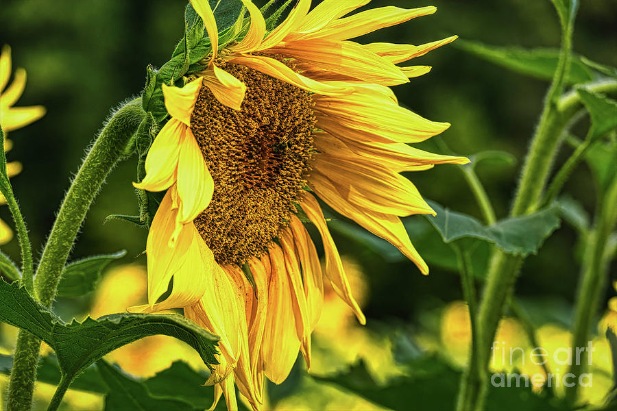 Sunflower 2019 4 by Elijah Knight