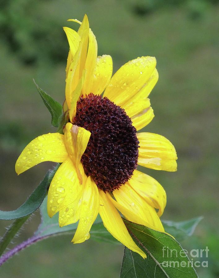 Sunflower 59  by Lizi Beard-Ward