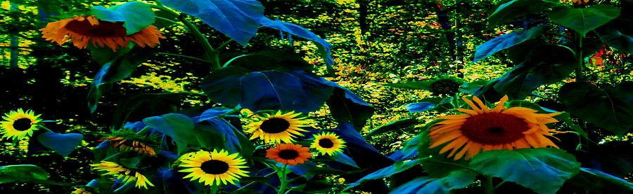 Sunflower-Afternoon Delight Panorama by Mike Breau
