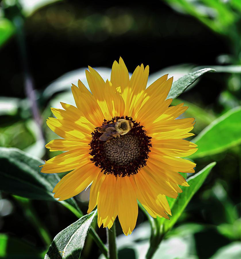 Sunflower and Bee by Robert Ullmann