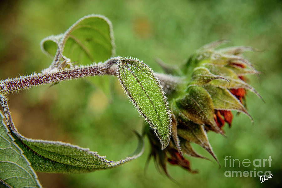 Sunflower And Frost Photograph