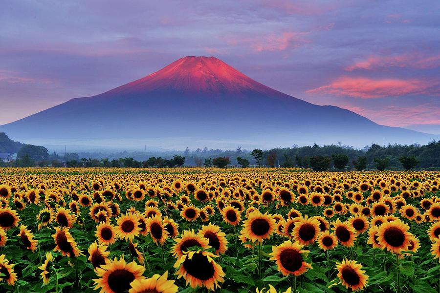 Sunflower And Red Fuji Photograph by Katsumi.takahashi