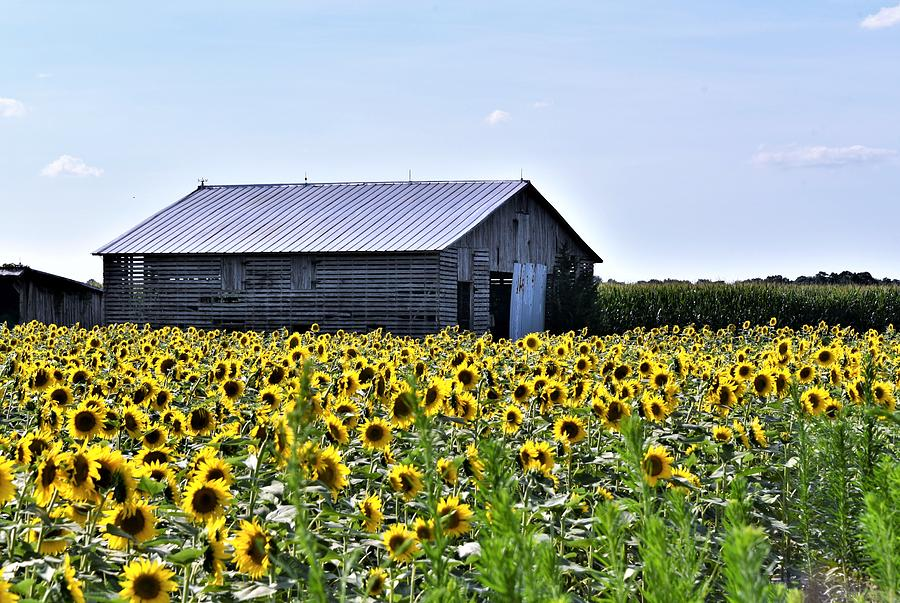 Sunflower Barn by Kim Bemis