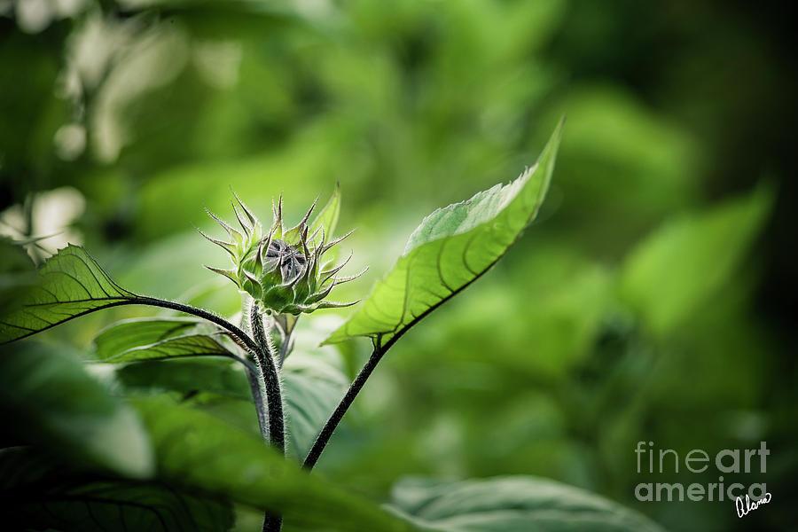 Sunflower Bud by Alana Ranney