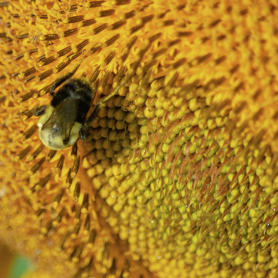 Sunflower Carpet Square Photograph