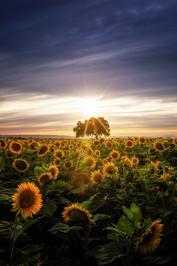 Sunflower Day Photograph by Vincent James
