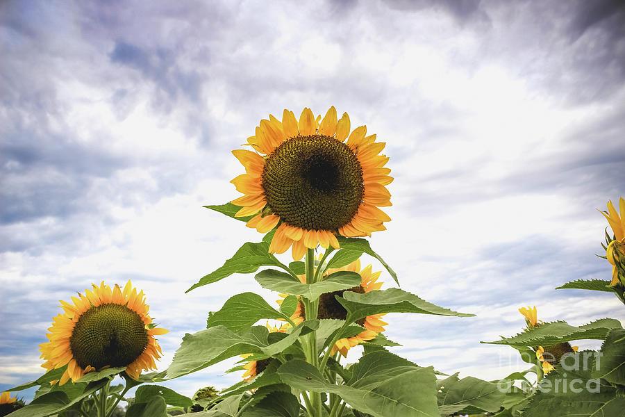 Sunflower Photograph - Sunflower Days by Colleen Kammerer