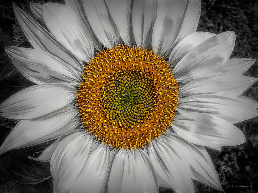 Sunflower Delight by John A Rodriguez