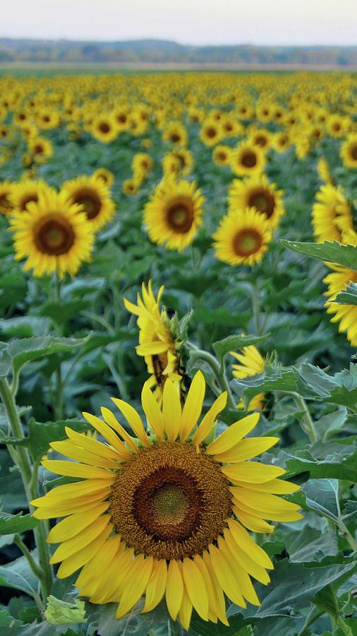 Sunflower Diptych One by Cricket Hackmann