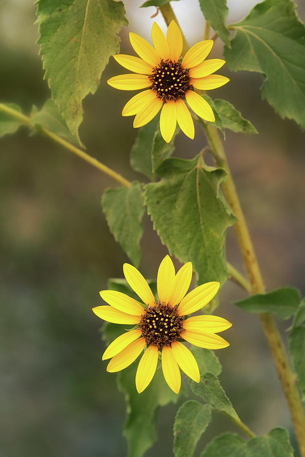 Sunflower Duo  by Saija Lehtonen
