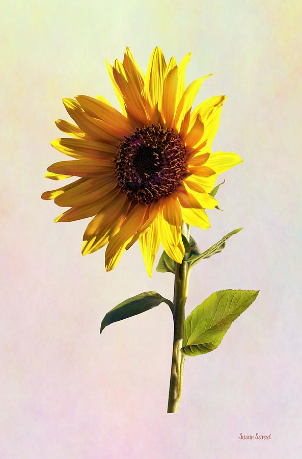 Sunflower Enjoying the Sun by Susan Savad