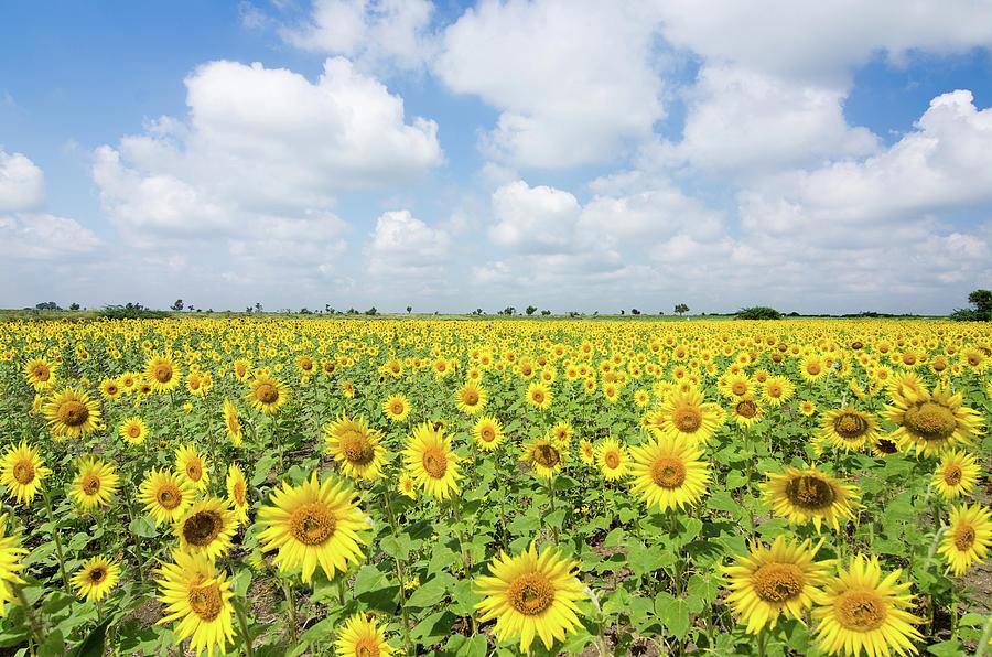 Sunflower Farm Photograph by Souvik Bhattacharya
