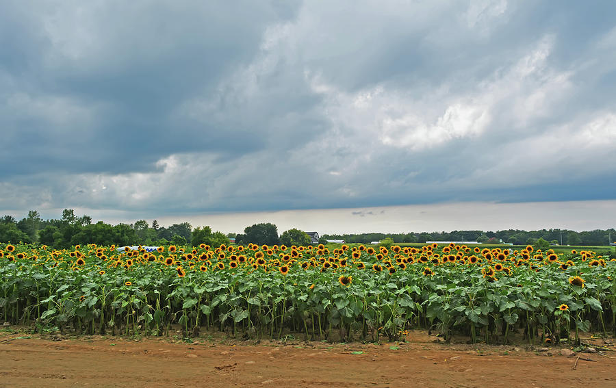 Sunflower Field by Aimee L Maher ALM GALLERY