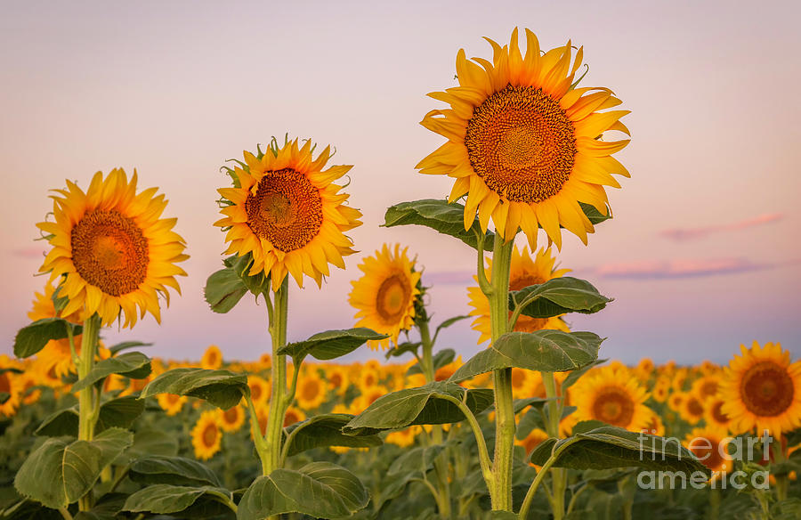 Sunflower Field at Sunrise by Ronda Kimbrow