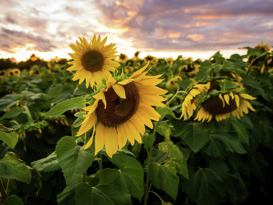 Sunflower Field At Sunset by Whitney Leigh Carlson