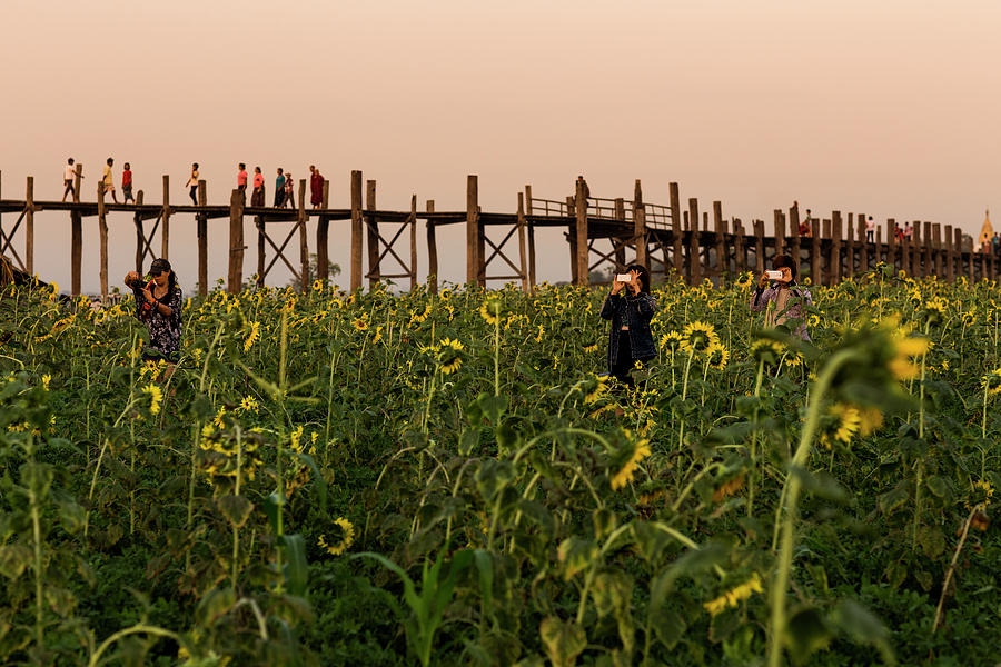 Sunflower Field Below U Bein Bridge Photograph by Merten Snijders