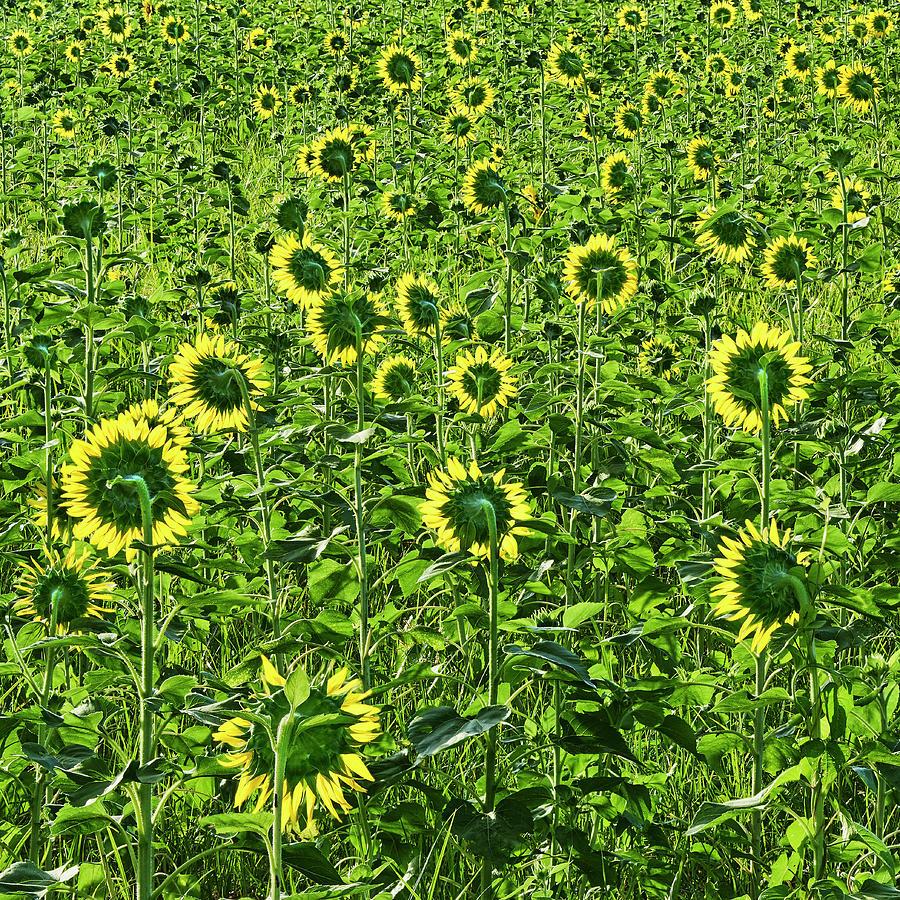 Sunflower Field by Bill Chambers