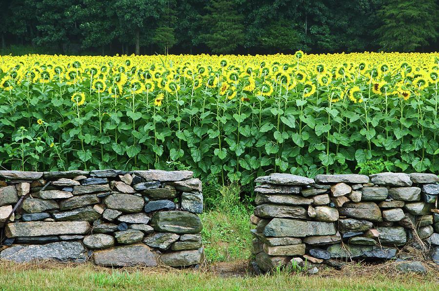 Sunflower Field Photograph by Kenwiedemann