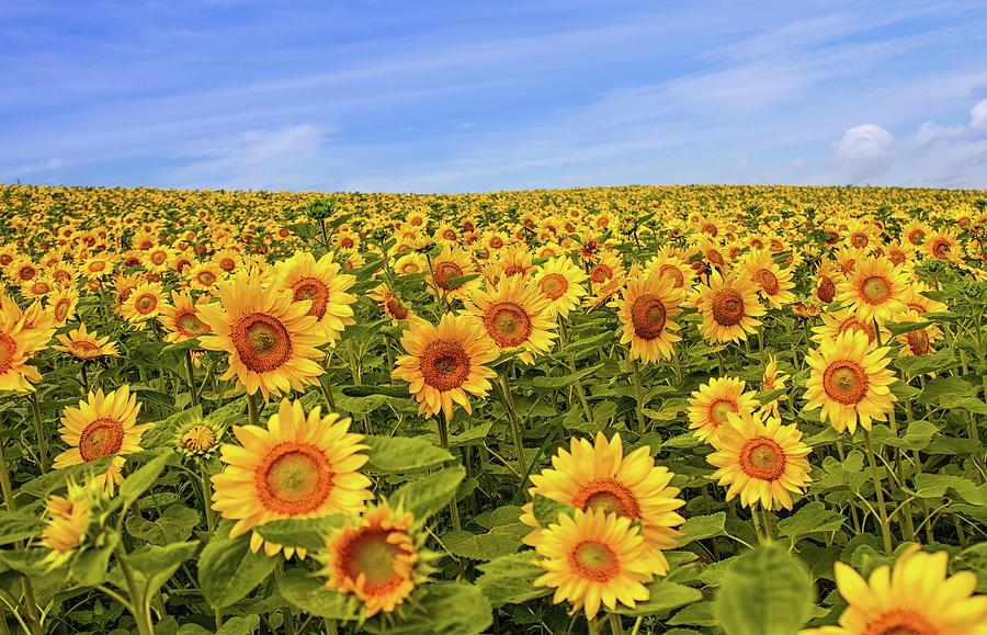 Sunflower Fields Photograph by Agustin Rafael C. Reyes