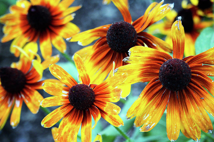 Sunflower Flame by Cynthia Guinn