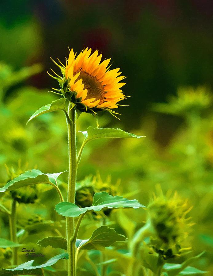 Sunflower Follows The Sun Painted by Sandi OReilly