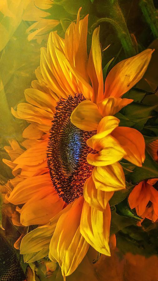 Sunflower Haze Photograph