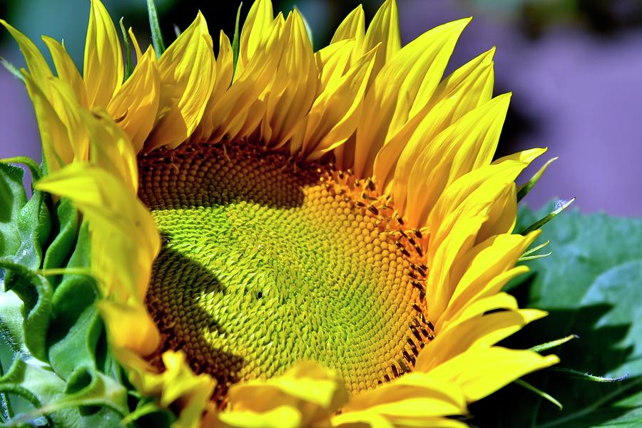 Sunflower Head by Jerry Sodorff