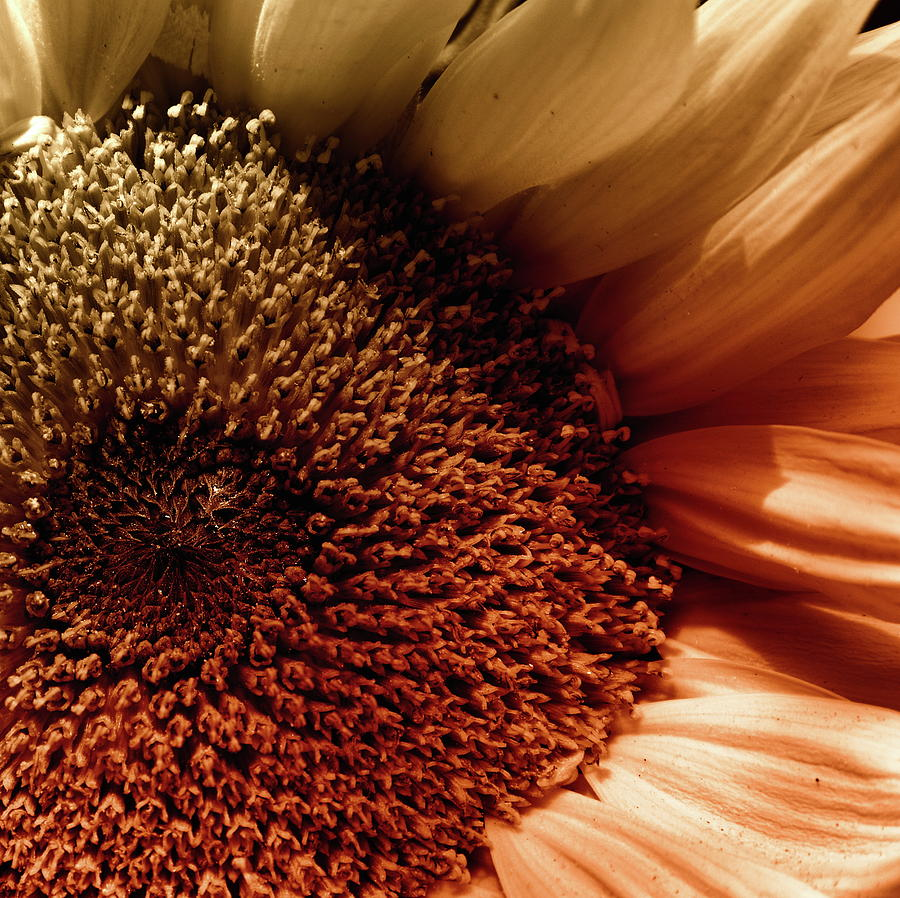 Sunflower In A Corner by Jeff Townsend
