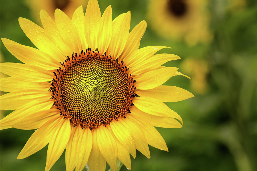Sunflower in the Field by Don Johnson