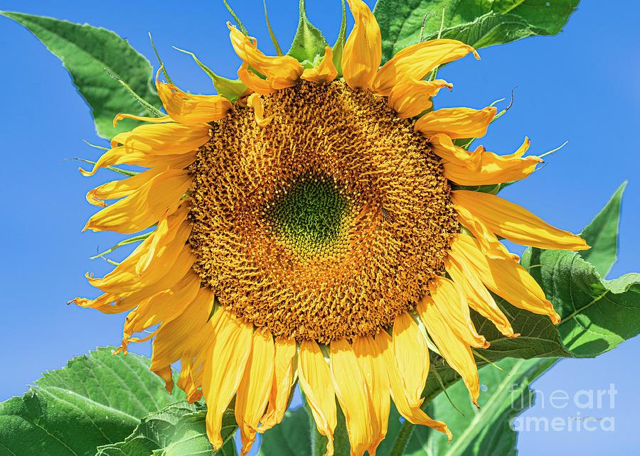 Sunflower in the Morning by Steven Natanson